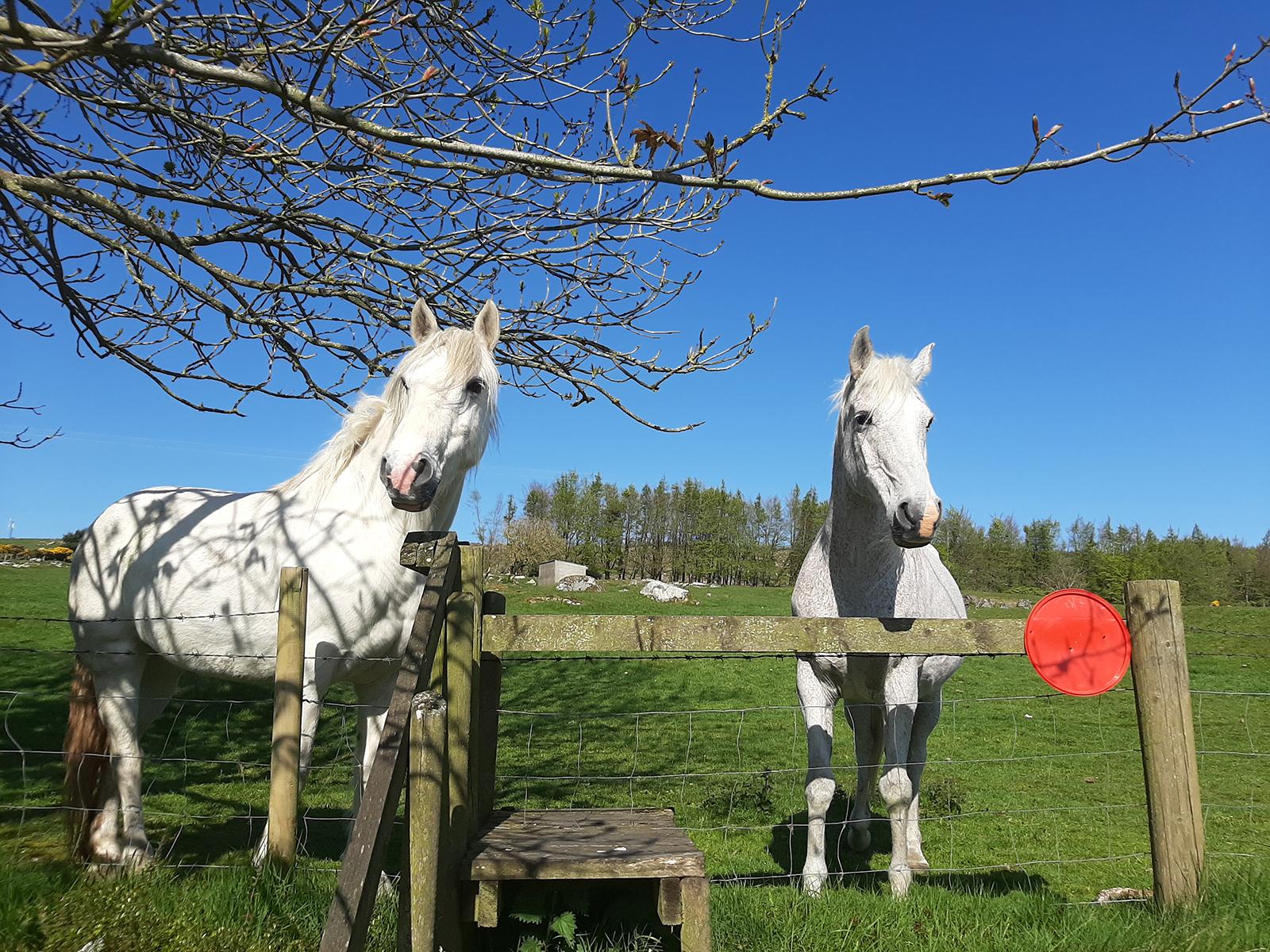 Two white horses on farm