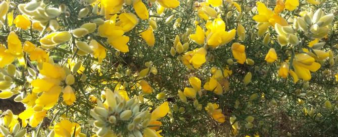 Yellow furze