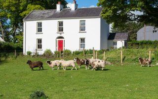 Rams and sheep on farmland outside Abhainn Ri