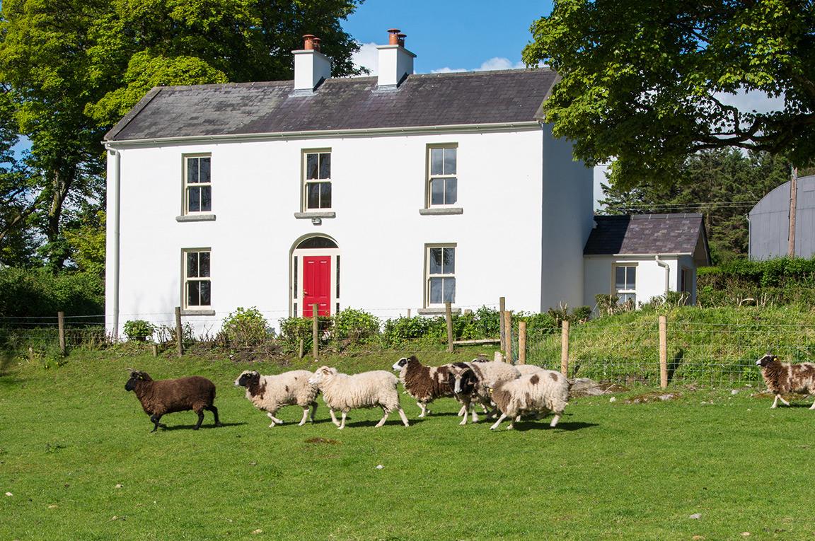 Sheep and rams on the farm outside Abhainn Ri