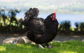 Hen at the Abhainn Ri