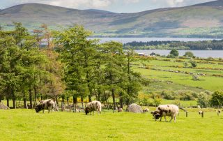 Rams on a hillside farm overlooking the Blessington lakes
