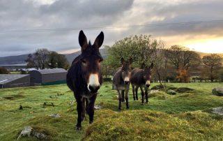 Three Donkeys on the farm at the Abhainn Ri