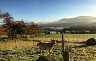 Goat on the farm at the Abhainn Ri